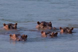 Hippopotamus pod (Hippopotamus amphibius) in the Zambezi river